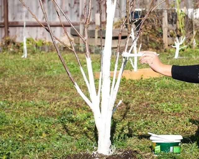 побелка деревьев водоэмульсионной краской