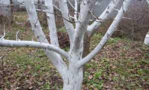 Правила обработки деревьев краской
